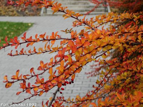 Jesień :) #jesień #park #klon #Roth #Racibórz #raciborz #Śląsk #slask #kolorowa #liście