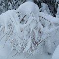 Śniegowe ubranko :) #zima #śnieg #przyroda #krzak