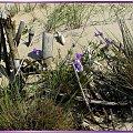 Wspominkowo, wydmowo... #trawy #kwiatki #wydmy #NadMorzem