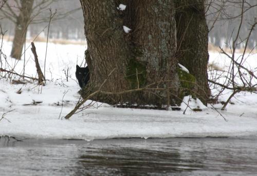 Rzeka Brda - 25.02.2011 - zdjęcie z samotnego spływu kajakowego - na szczęście nie mógł przebiec mi drogi #Brda #kot