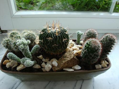 Zobacz Wątek Kompozycje Z Kaktusów