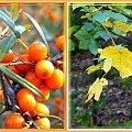trochę fotek jesiennych...Świbno, w drodze powrotnej #jesień #collage #NadMorzem #rokitnik #DzikaRóża #liście #drzewa