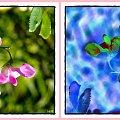 groszek-może ciekawiej,może nie ale na pewno inaczej! #inaczej #ZamianaKolorów #przeróbki #groszek #kwiaty #pnącza #kolory