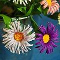 Astry Marcinki #bibuła #dekoracje #hobby #KompozycjeKwiatowe #krepina #KwiatyZBibuły #MojePrace #pomysły #RobótkiRęczne