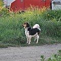 Mój piesek #agility #czesio #czesław #kundelek #pies #piesek #skoki