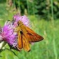 #motyl #łąka #kwiat #oset